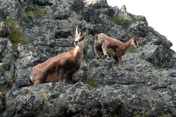 Photography of a chamois