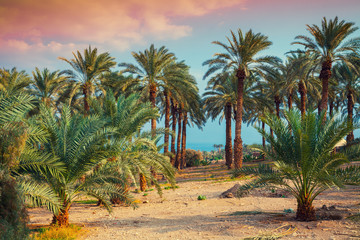 Date palm plantation