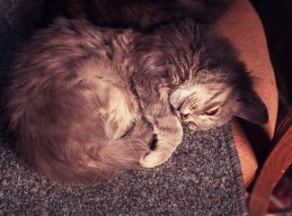 Cute siberian cat lying curled up
