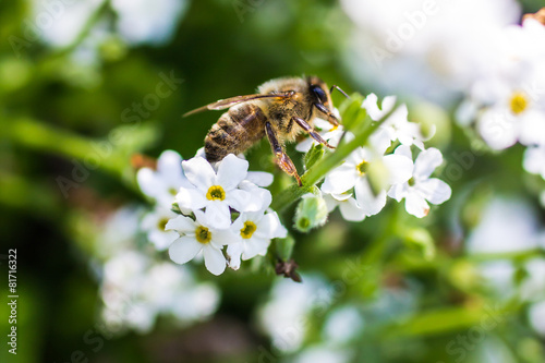 Deurstickers Bee Western honey bee