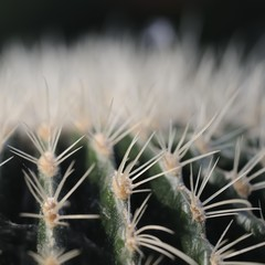 kaktus 95