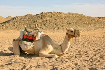 Camel have a rest in desert