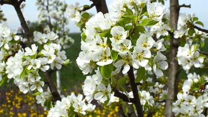 Close up of a bounty of pear blossoms