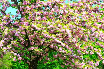 kanzam prunus tree