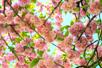 kanzam prunus blossoming