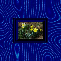 Flowering narcissus in op art frame on blue wavy background