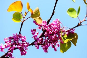 Judas tree - cercys siliquastrum