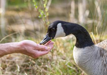 Hand feeding corn to a wild Canada Goose