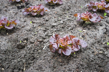 Recently planted Red Lettuce plants from close