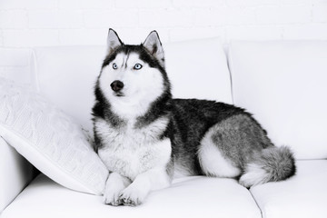 Beautiful cute husky lying on sofa in white room