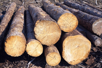 Sawn Long pine logs of different sizes lies on a ground