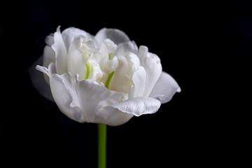 Fresh white tulip on gray background