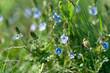 Little blue flowers in meadow