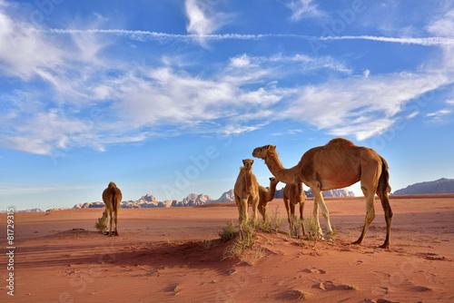 Tuinposter Kameel Camels in Wadi Rum desert