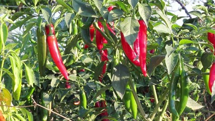 Plant peppers