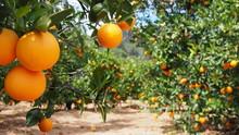 """Постер, картина, фотообои """"Bloomy orange garden in Valencia"""""""