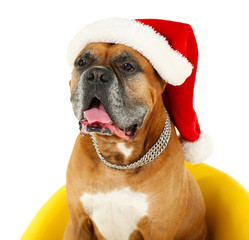 Cute dog in Christmas cap, sitting in yellow armchair isolated