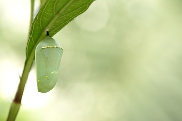 Monarch butterfly chrysalis, beautiful cocoon
