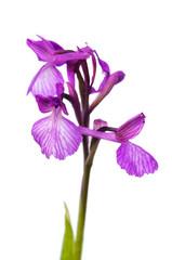 Wild Orchid hybrid isolated - Anacamptis x gennarii