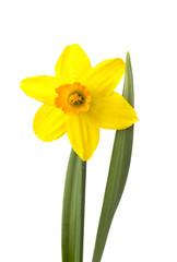 Нарцисс красивый