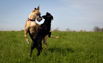 Two dogs play fighting in grassy field