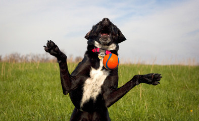 Silly black dog missing orange ball