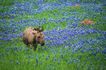 Donkey grazing on Texas bluebonnet pasture