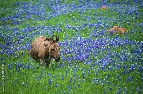 Foto op Plexiglas Ezel Donkey grazing on Texas bluebonnet pasture