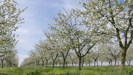 Agriculture, beautiful blosoming cherry fruit  trees in orchard