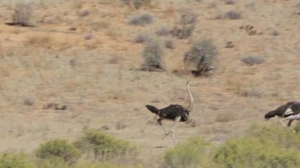 running Ostrich, Struthio camelus, in Etosha Park