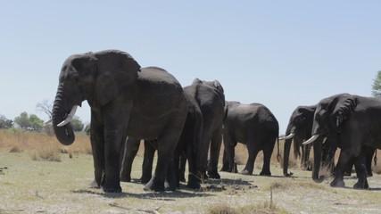 herd of African elephants in african going waterhole