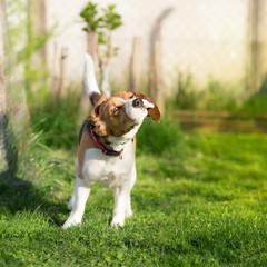 Shaking Beagle dog