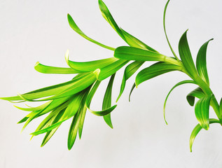 lily plant isolated