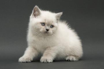 nice cute british kitten