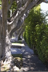 Walk Path on Beverly Hills road with secolar tree