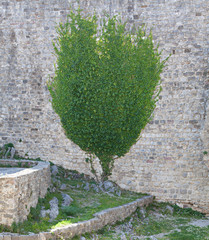 Background of stone wall and ivy