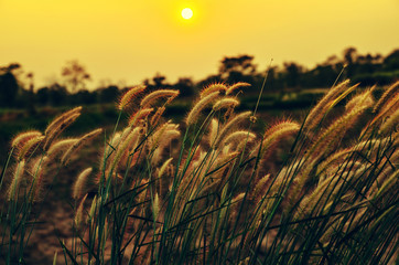 flower grass in meadow at sunset