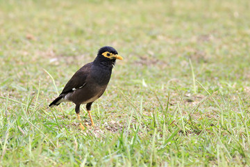Common myna on the grass.