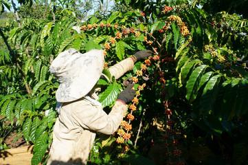 Asian farmer pick coffee bean