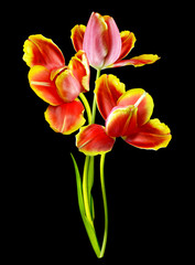 Pink tulips isolated on a black background