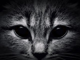 dark muzzle cat close-up. front view - 81749164