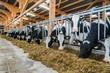 Leinwanddruck Bild - Moderner Rindviehstall, Holstein-Friesian Rinder beim fressen