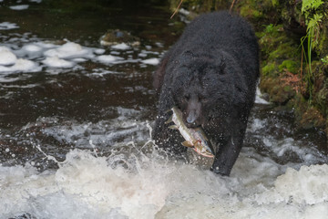 Black bear eating a salmon in Alaska river