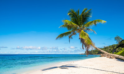 Coconut palm tree on tropical beach, Seychelles