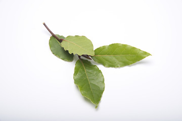Branch of fresh Laurel leaves on a white background