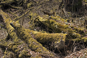 Moss on fallen trees