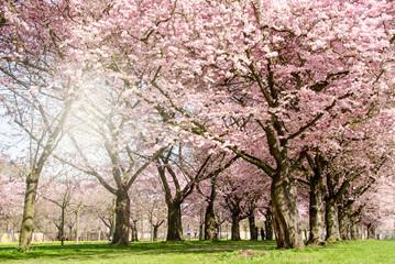 Frühlingserwachen: Japanische Kirschblüten im Park :)