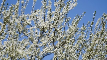 Apple Tree Spring White Flowers Blossom