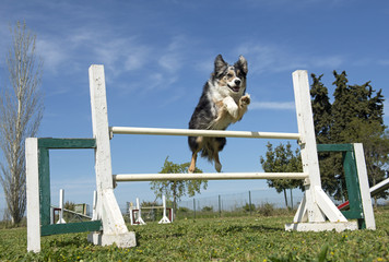 border collie in agility