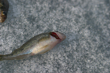 live fish. red gills